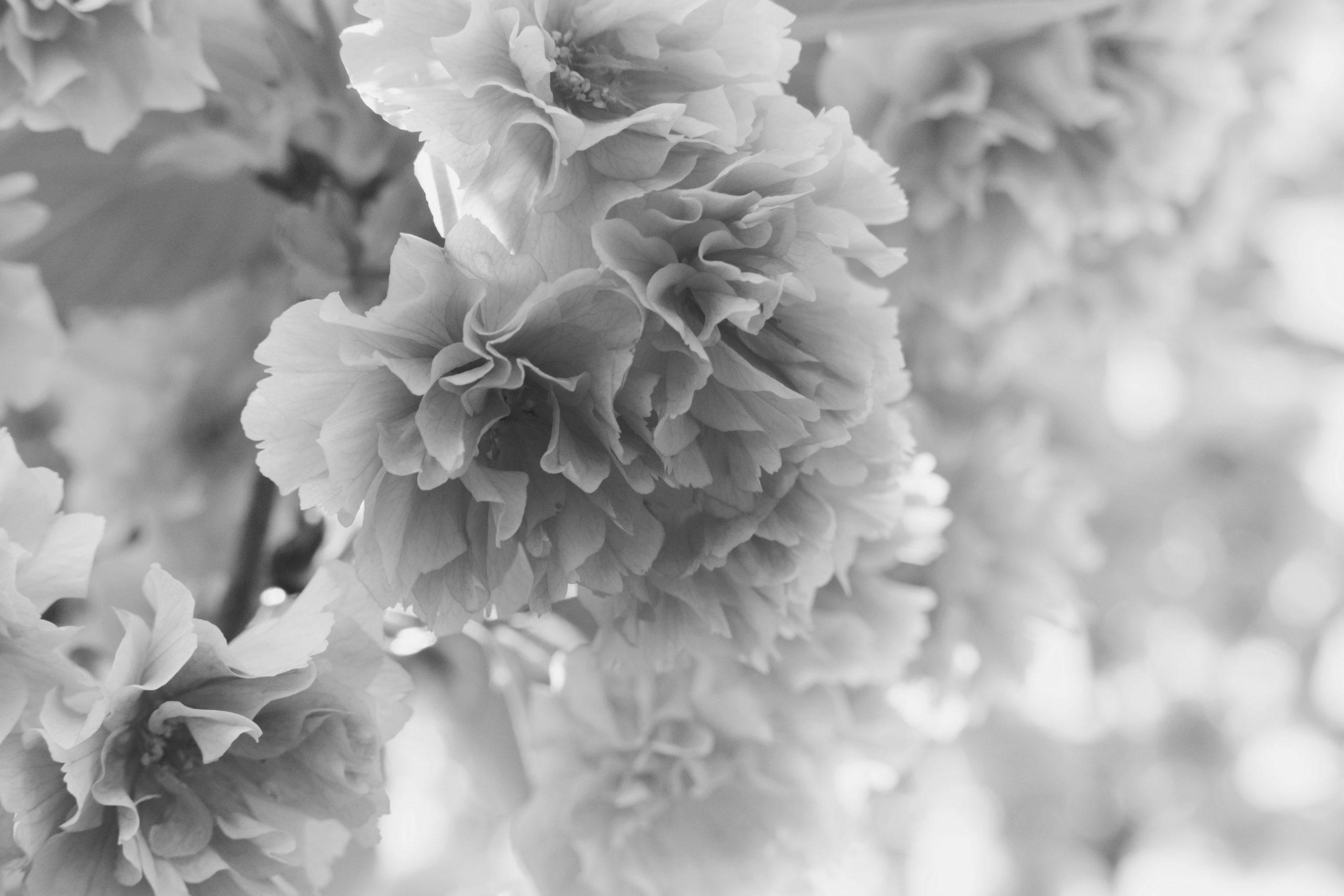 Des fleurs de cerisiers en éclosion