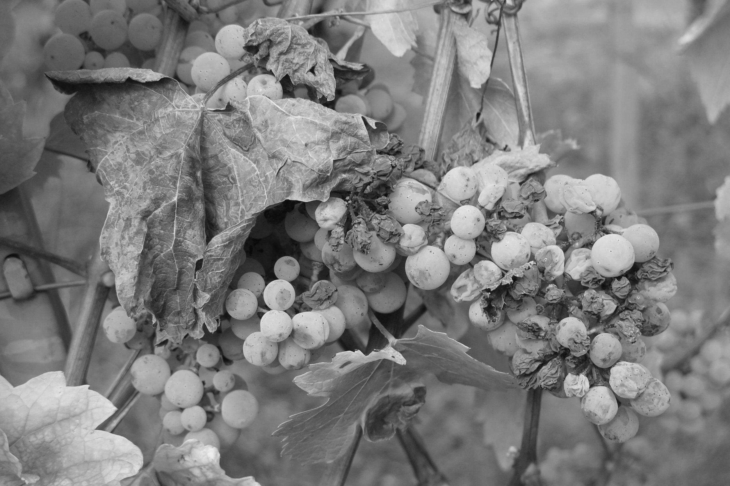 Une grappe de raisin séchée par le soleil
